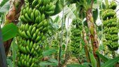 Banana Fields And Production In Alanya